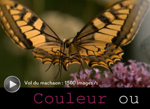 Machaon filmé avec PHANTOM MIRO